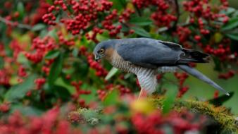 Berries birds bird of prey wallpaper