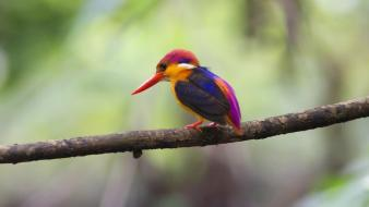 Birds animals creatures kingfisher rare wallpaper