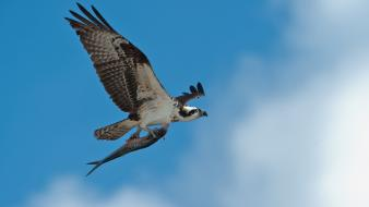 Birds animals fish prey hunting blue skies wallpaper