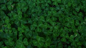 Green plants clover Wallpaper