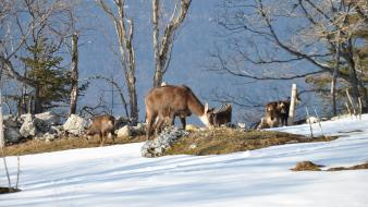 Landscapes nature winter snow animals fawn chamois buff Wallpaper