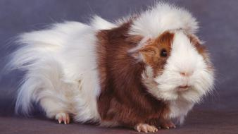 Nature animals guinea pigs wallpaper