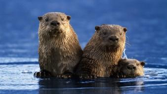 Nature animals otters wallpaper