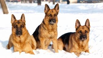 Snow dogs german shepherd wallpaper