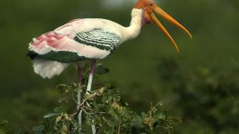Storks birds Wallpaper