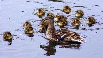 Water ducks duckling ripples baby birds wallpaper