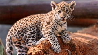 Animals jaguars baby wallpaper