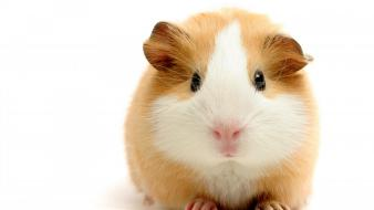 Animals orange guinea pigs wallpaper