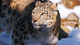 Animals snow leopards wallpaper