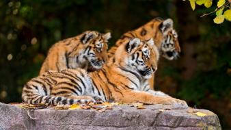 Animals tigers wildlife Wallpaper