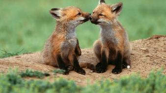 Baby animals foxes Wallpaper