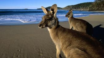 Beach animals grey australia kangaroos eastern wallpaper