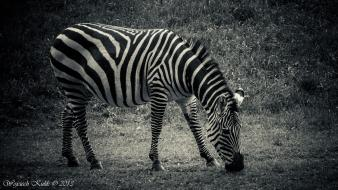 Black and white animals zebras africa wallpaper