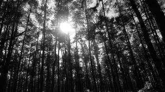 Black trees wood forest Wallpaper