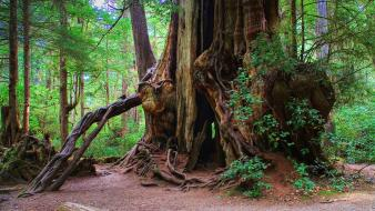Giant tree olympic national park kalaloch cedar wallpaper