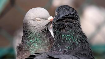 Love birds funny pigeons affection wallpaper