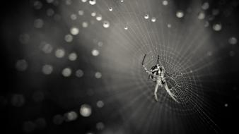 Web water drops spiders Wallpaper