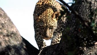 Animals african leopards branches wallpaper