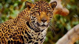 Animals feline jaguars wallpaper