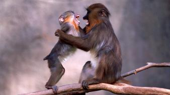 Animals monkeys baby wallpaper