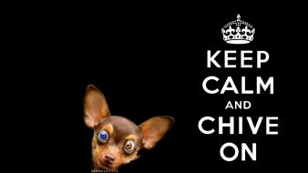 Chihuahua black background kcco the chive chiveon wallpaper
