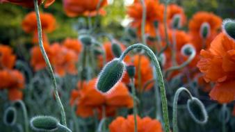 Flowers macro orange poppies wallpaper
