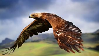 Flying birds animals eagles feathers flight skyscapes wallpaper
