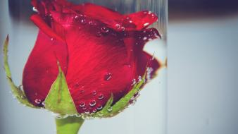 Nature flowers roses underwater red wallpaper