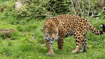Nature jaguar angry leopards awesomeness wild wallpaper