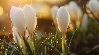 Rain flowers crocus white wallpaper