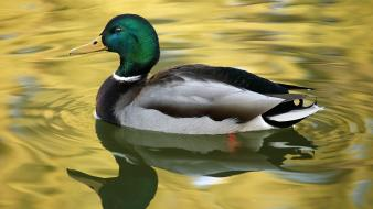 Water nature ducks birds Wallpaper