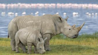 White animals rhinoceros pair kenya baby wallpaper