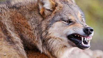 Animals teeth wolves wallpaper