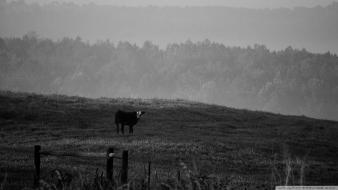 Black and white landscapes nature cows wallpaper