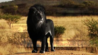 Black animals lions fake color wallpaper
