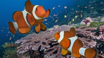 Indonesia clownfish pair wallpaper
