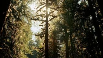 Landscapes sun trees forest evergreen wallpaper