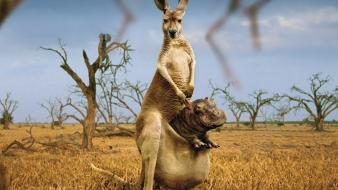 Nature animals australia force of kangaroos wallpaper