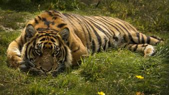 Nature animals tigers big cats wallpaper
