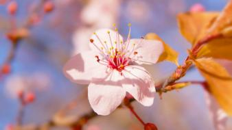 Nature cherry blossoms flowers plants pink Wallpaper