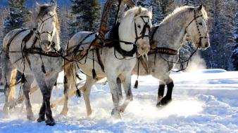 Snow white horses Wallpaper