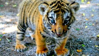 Tigers cubs baby animals wallpaper
