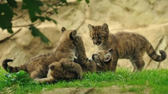 Animals cougars baby wallpaper