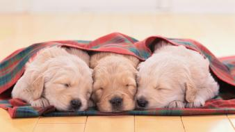 Animals dogs puppies sleeping blanket wooden floor wallpaper