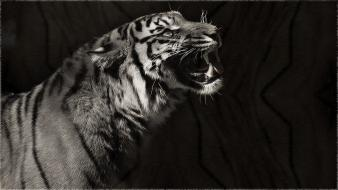 Black and white animals tigers patterns Wallpaper