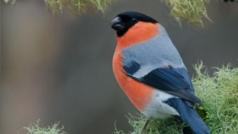 Close-up nature birds animals finch bullfinch Wallpaper