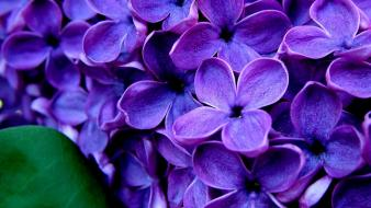 Flowers purple hydrangeas Wallpaper