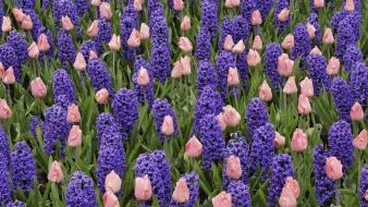 Flowers tulips pink purple hyacinths wallpaper