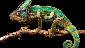Green tails blue yellow animals chameleons branch wallpaper