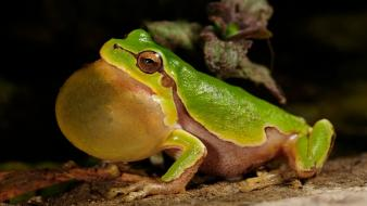 Nature animals frogs amphibians wallpaper